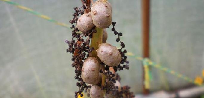 Rostlina Světelný kořen – Jarmila Habrová