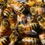 Jak na včelaření – Jan Závodný Pospíšil
